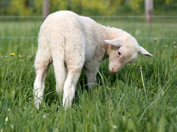 lamb-with-tail