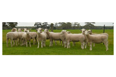 Ewe Selection for Commercial Producers