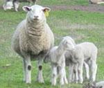 More-lambs-more-profit