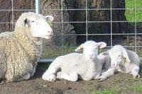 ewes_lambs