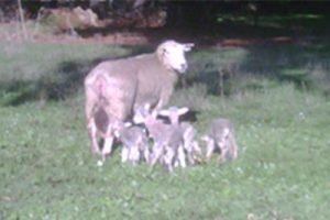 lamb-survival_th