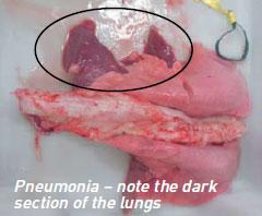 sheep-pneumonia-web