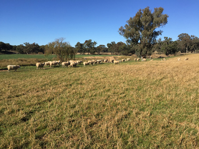 1-White-Suffolk-ewes-and-lambs-at-Omeo
