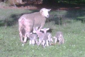 Precision Lambing