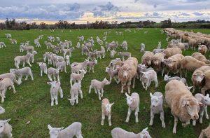 Lambs aplenty