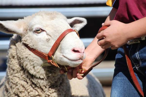 Ewe Lamb at Dalby High