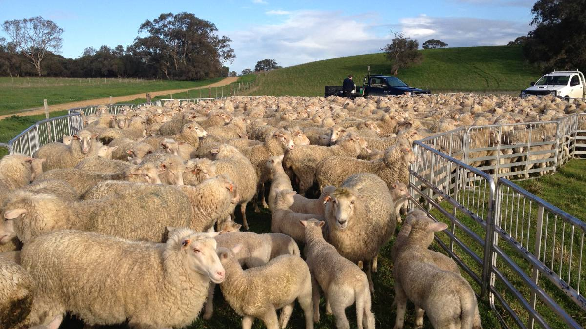 ROBUST BREEDING: With a focus on ewe reproduction and flock profitability, this year the Clothier family, Greenvale, Woolumbool, achieved 143 per cent lambing rate from ewes mated.