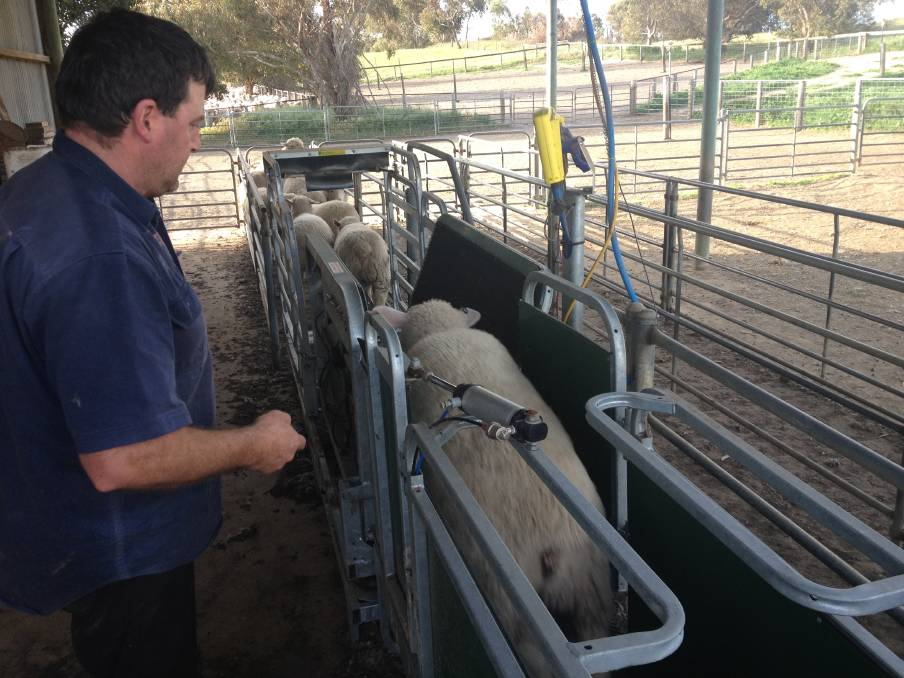 WEIGH-IN: The Clothiers weigh all their lambs prior to sale, aiming to turn them off at an average carcase weight of 22 kilograms.