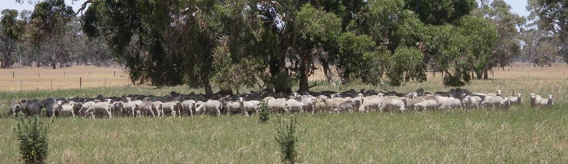 NUTRITION FOCUS: Crossbred lambs graze dryland lucern paddocks through the summer to be finished.