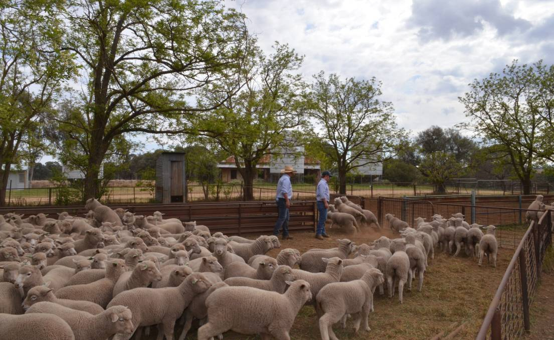 Counting the White Suffolk/Merino lambs after drafting into weight groups.