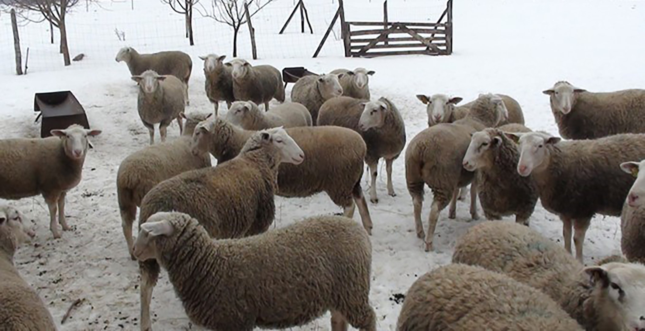 White Suffolk ewe hoggets in the cold of mid-winter at Fala stud, Hungary
