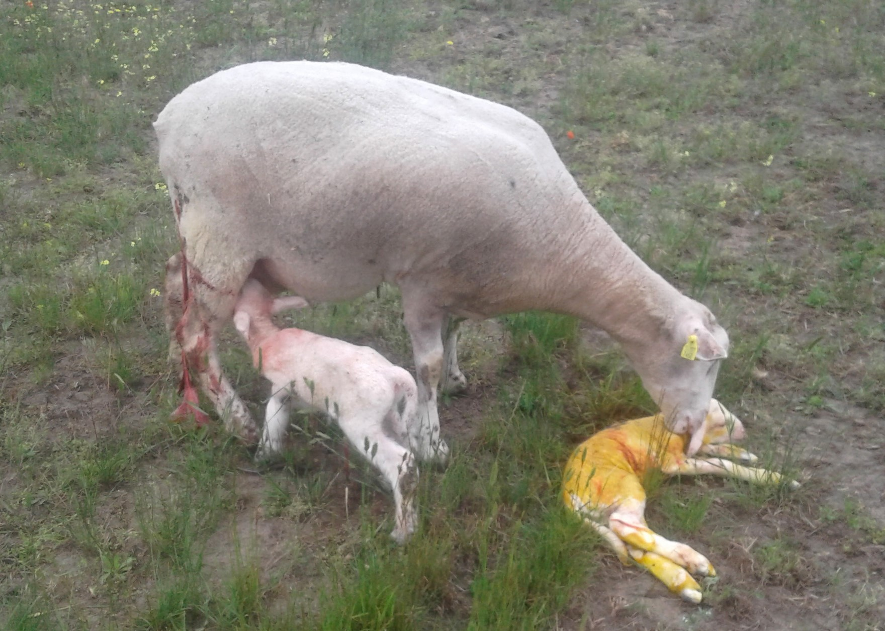 White Suffolk ewe lambing down twin lambs.