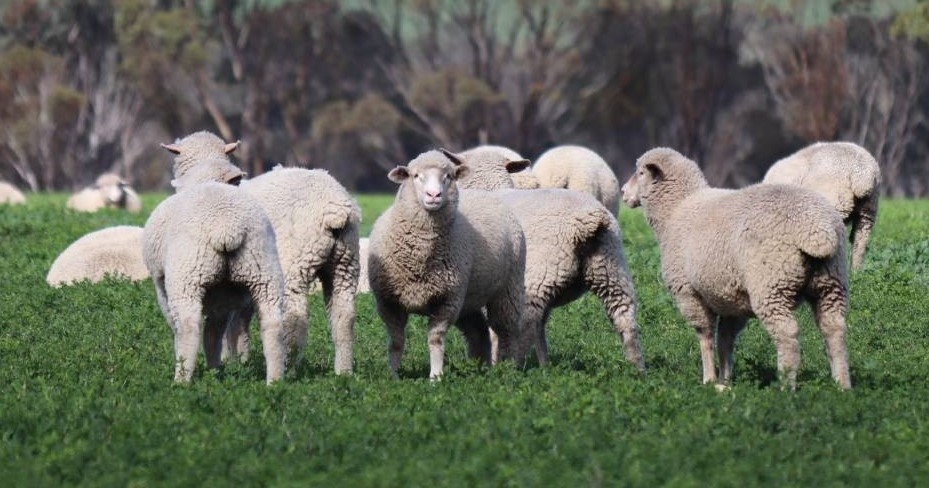 The O'Meehans run a flock of about 2500 breeding ewes on 4000 arable hectares. Photo courtesy Farm Weekly.